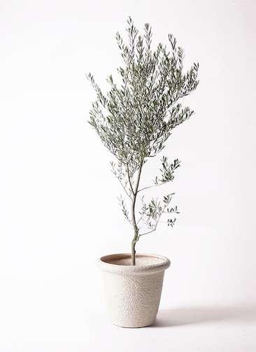 観葉植物 オリーブの木 10号 創樹 ビアスリムス 白 付き