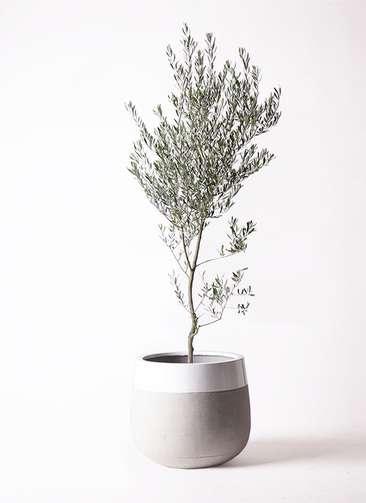 観葉植物 オリーブの木 10号 創樹 ファイバーストーンタウルス ミドル 白 付き