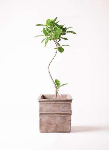 観葉植物 フィカス アルテシーマ 8号 曲り テラアストラ カペラキュビ 赤茶色 付き