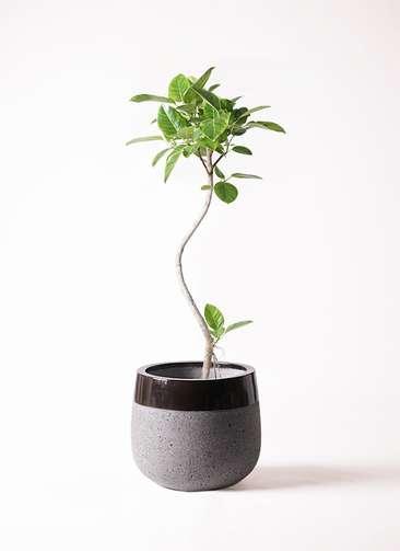 観葉植物 フィカス アルテシーマ 8号 曲り ファイバーストーンタウルス 黒 付き