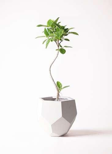 観葉植物 フィカス アルテシーマ 8号 曲り ポリゴヘクサ 白 付き