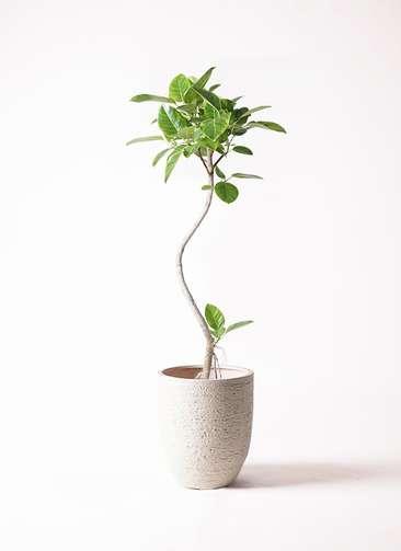 観葉植物 フィカス アルテシーマ 8号 曲り ビアスアルトエッグ 白 付き