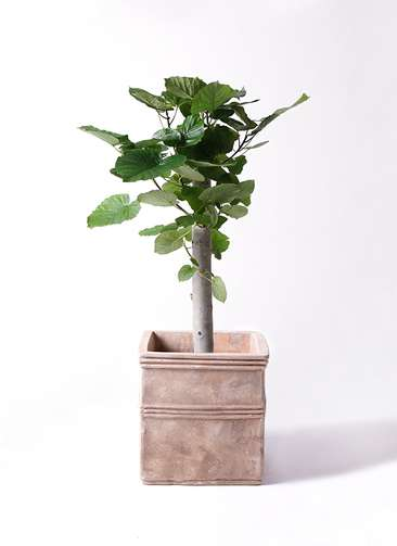 観葉植物 フィカス ウンベラータ 8号 朴 テラアストラ カペラキュビ 赤茶色 付き