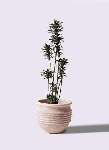 観葉植物 ドラセナ パープルコンパクタ 8号 テラアストラ リゲル 赤茶色 付き