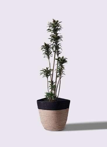 観葉植物 ドラセナ パープルコンパクタ 8号 リブバスケットNatural and Black 付き