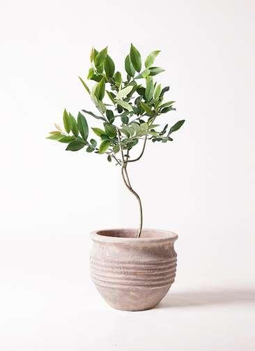 観葉植物 アマゾンオリーブ (ムラサキフトモモ) 8号 テラアストラ リゲル 赤茶色 付き
