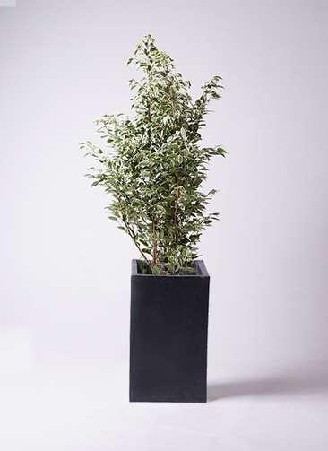 観葉植物 フィカス ベンジャミン 10号 スターライト セドナロング 墨 付き
