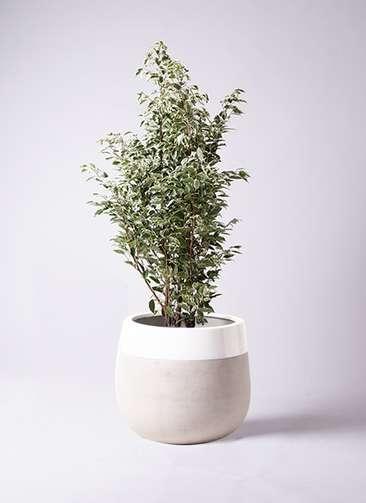 観葉植物 フィカス ベンジャミン 10号 スターライト ファイバーストーンタウルス ミドル 白 付き