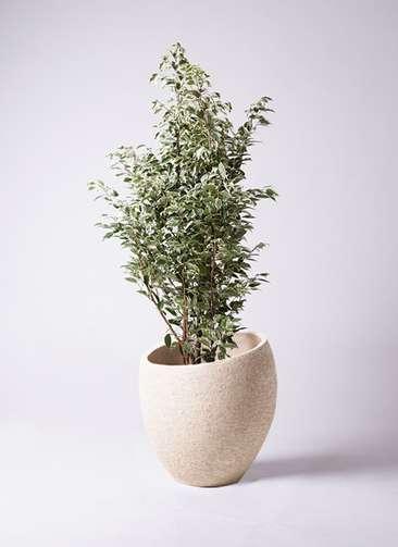 観葉植物 フィカス ベンジャミン 10号 スターライト エコストーンLight Gray 付き