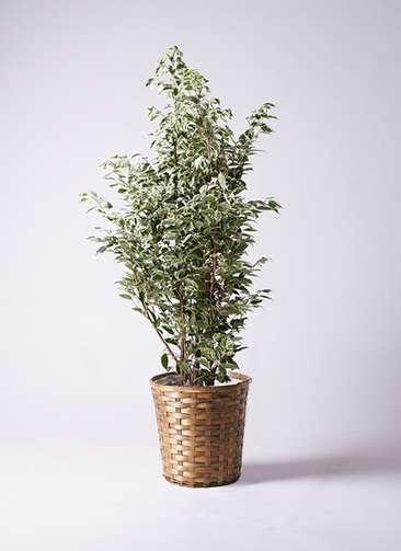 観葉植物 フィカス ベンジャミン 10号 スターライト 竹バスケット 付き