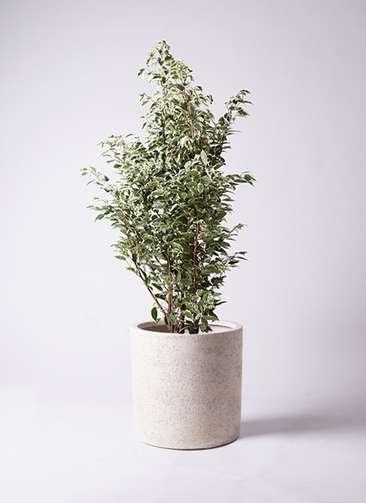 観葉植物 フィカス ベンジャミン 10号 スターライト サンディ シリンダー 白 付き