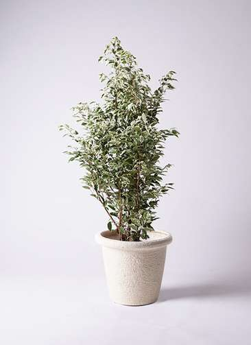 観葉植物 フィカス ベンジャミン 10号 スターライト ビアスリムス 白 付き