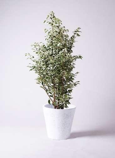 観葉植物 フィカス ベンジャミン 10号 スターライト フォリオソリッド 白 付き