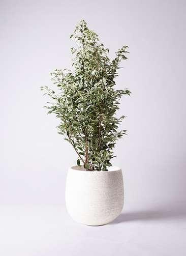 観葉植物 フィカス ベンジャミン 10号 スターライト エコストーンwhite 付き