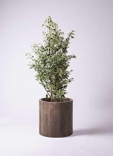 観葉植物 フィカス ベンジャミン 10号 スターライト アルファシリンダープランター 付き