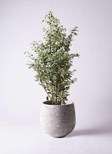 観葉植物 フィカス ベンジャミン 10号 スターライト エコストーンGray 付き