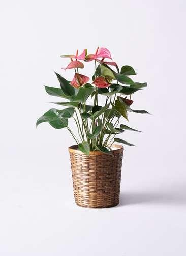 観葉植物 アンスリウム 6号 ピンクチャンピオン 竹バスケット 付き
