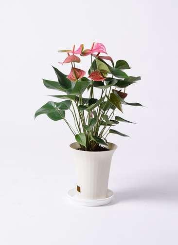 観葉植物 アンスリウム 6号 ピンクチャンピオン プラスチック鉢