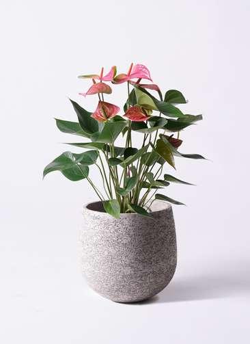 観葉植物 アンスリウム 6号 ピンクチャンピオン エコストーンGray 付き