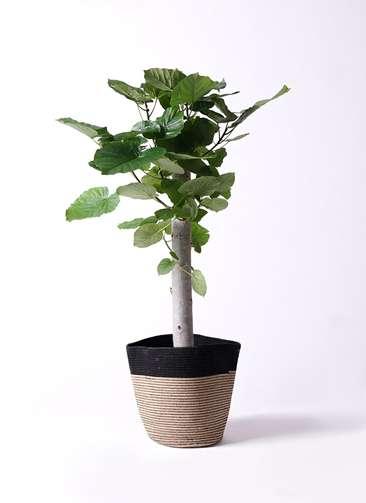 観葉植物 フィカス ウンベラータ 8号 朴 リブバスケットNatural and Black 付き