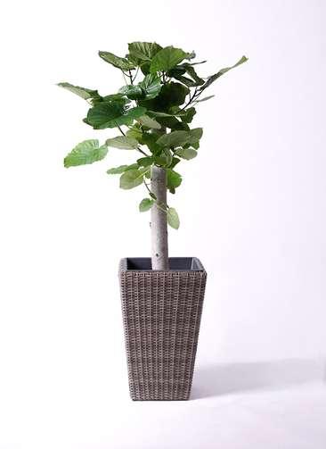 観葉植物 フィカス ウンベラータ 8号 朴 ウィッカーポット スクエアロング OT 茶 付き