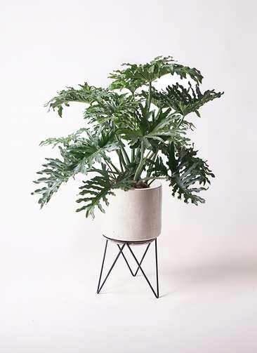 観葉植物 セローム ヒトデカズラ 8号 ボサ造り ビトロ エンデカ 鉢カバースタンド付 クリーム 付き