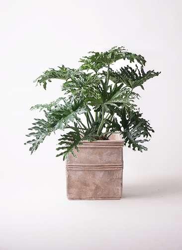 観葉植物 セローム ヒトデカズラ 8号 ボサ造り テラアストラ カペラキュビ 赤茶色 付き