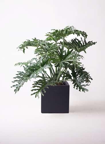 観葉植物 セローム ヒトデカズラ 8号 ボサ造り ベータ キューブプランター 黒 付き