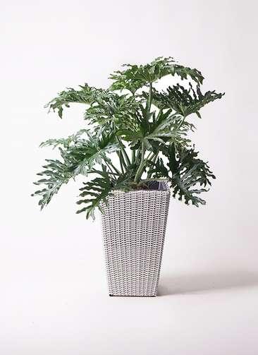 観葉植物 セローム ヒトデカズラ 8号 ボサ造り ウィッカーポット スクエアロング OT 白 付き