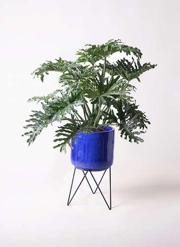 観葉植物 セローム ヒトデカズラ 8号 ボサ造り ビトロ エンデカ 鉢カバースタンド付 ブルー 付き