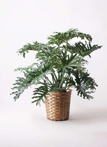 観葉植物 セローム ヒトデカズラ 8号 ボサ造り 竹バスケット 付き