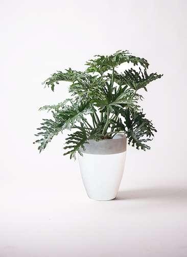 観葉植物 セローム ヒトデカズラ 8号 ボサ造り ファイバーストーンカプリ 白 付き