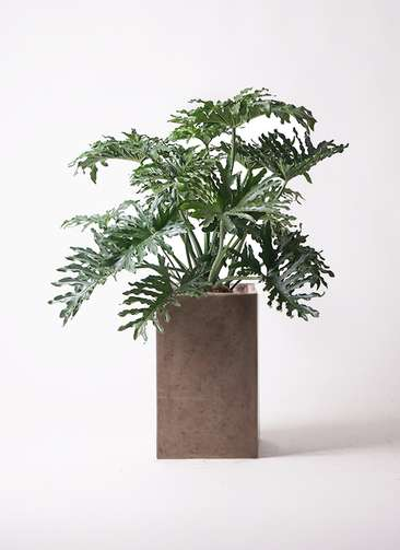 観葉植物 セローム ヒトデカズラ 8号 ボサ造り セドナロング グレイ 付き