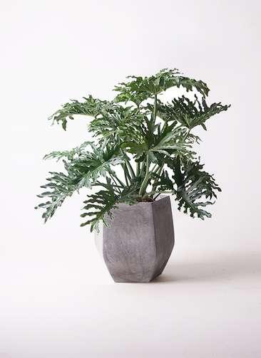 観葉植物 セローム ヒトデカズラ 8号 ボサ造り ファイバークレイ Gray 付き