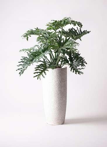 観葉植物 セローム ヒトデカズラ 8号 ボサ造り エコストーントールタイプ white 付き