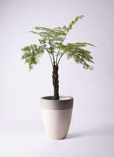 観葉植物 ヘゴ 8号 ファイバーストーンカプリ サンディホワイト 付き