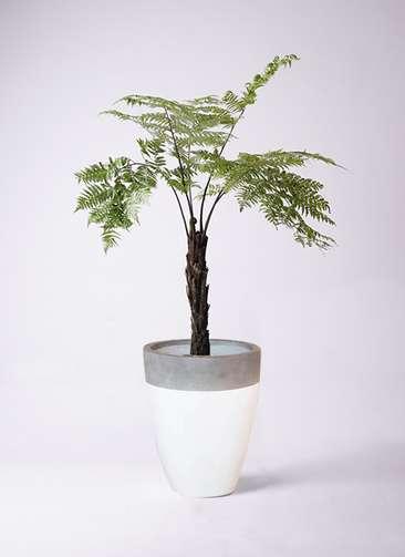 観葉植物 ヘゴ 8号 ファイバーストーンカプリ 白 付き