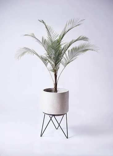 観葉植物 ヒメココス 8号 ビトロ エンデカ 鉢カバースタンド付 クリーム 付き
