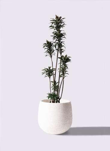 観葉植物 ドラセナ パープルコンパクタ 8号 エコストーンwhite 付き