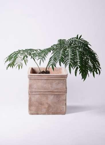 観葉植物 リュウビンタイ 8号 テラアストラ カペラキュビ 赤茶色 付き