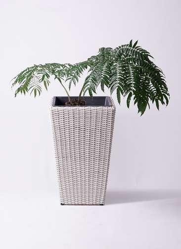 観葉植物 リュウビンタイ 8号 ウィッカーポット スクエアロング OT 白 付き