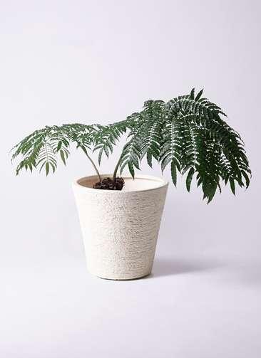 観葉植物 リュウビンタイ 8号 ビアスソリッド 白 付き
