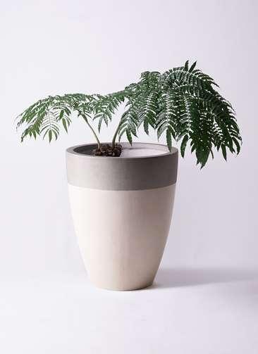 観葉植物 リュウビンタイ 8号 ファイバーストーンカプリ サンディホワイト 付き
