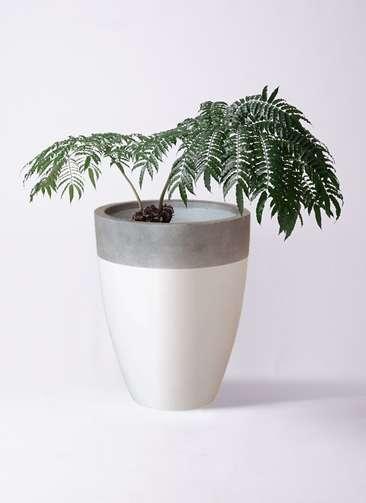 観葉植物 リュウビンタイ 8号 ファイバーストーンカプリ 白 付き