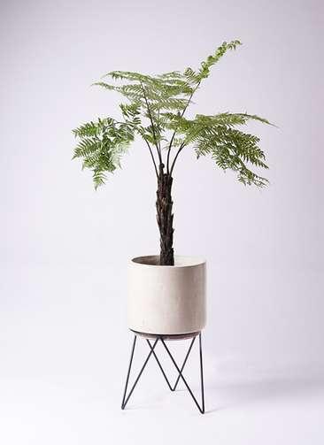 観葉植物 ヘゴ 8号 ビトロ エンデカ 鉢カバースタンド付 クリーム 付き