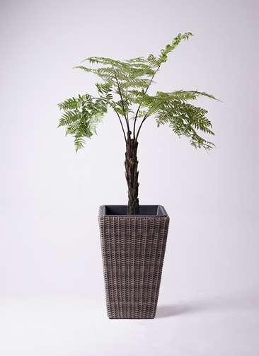 観葉植物 ヘゴ 8号 ウィッカーポット スクエアロング OT 茶 付き