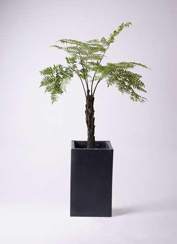 観葉植物 ヘゴ 8号 セドナロング 墨 付き