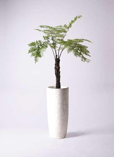 観葉植物 ヘゴ 8号 エコストーントールタイプ white 付き