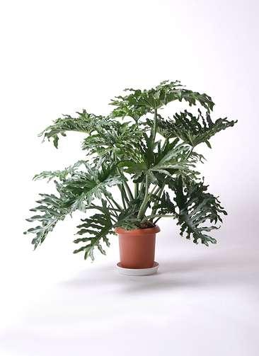観葉植物 セローム ヒトデカズラ 8号 ボサ造り プラスチック鉢