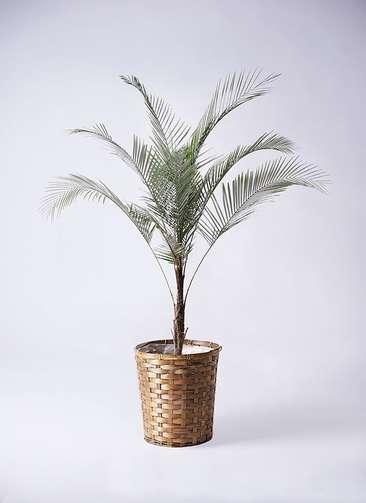 観葉植物 ヒメココス 8号 竹バスケット 付き